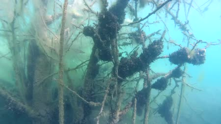 szczupak : Pike hiding among branches of a tree submerged in an underwater forest Wideo