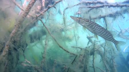 hegycsúcs : Diver scared pike that hid among branches of a tree submerged in an underwater forest Stock mozgókép