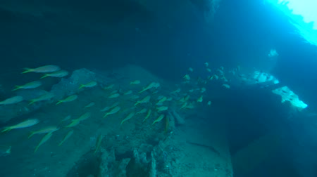 ss : Large school of Yellowfin goatfish (Mulloidichthys vanicolensis) swims inside the wreck of the SS Dunraven, Red sea, Egypt