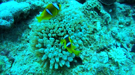 red sea anemonefish : Two two-banded Anemonefish or Orange-fin anemonefish (Amphiprion chrysopterus) on anemone, Red sea, Egypt Stock Footage