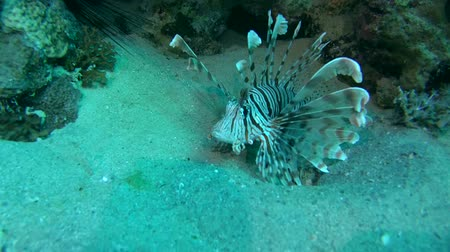 scorpionfish : Red lionfish (Pterois volitans) is above the sand near the coral reef Stock Footage