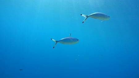 bluefish : few fish Lunar Fusilier or Blue fusilier (Caesio lunaris) swimming in blue water, Red sea, Sharm El Sheikh, Sinai Peninsula, Egypt Stock Footage