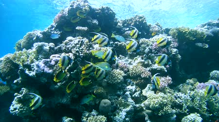 raccoon : Schools of fish longfin bannerfish (Heniochus acuminatus) and Red Sea racoon butterflyfish (Chaetodon fasciatus) close to a coral reef, Red sea, Sharm El Sheikh, Sinai Peninsula, Egypt