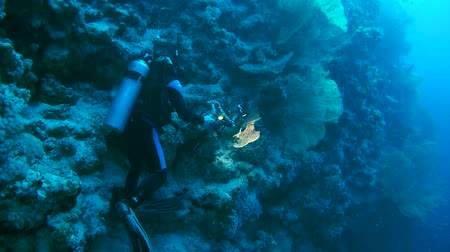 being removed : Underwater operator removed gorgonian seafan - Gorgonia flabellum Stock Footage