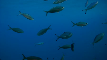 bluefish : school of fish Lunar Fusilier - Caesio lunaris float on a background of blue water