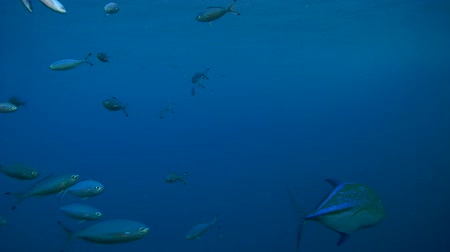 bluefish : school of fish Lunar Fusilier - Caesio lunaris swim frightened Bluefin trevally - Caranx melampygus, and is going to address together
