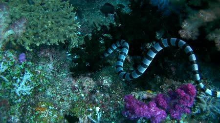 krait : Black-banded Sea Krait or blue-lipped sea krait - Laticauda laticaudata, swims by coral reef, Oceania, Indonesia, Southeast Asia