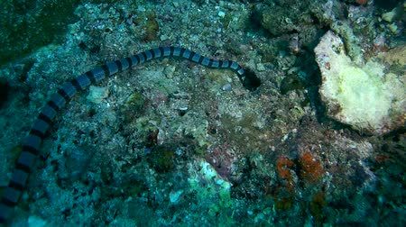 krait : Black-banded Sea Krait or blue-lipped sea krait - Laticauda laticaudata, Oceania, Indonesia, Southeast Asia Stock Footage