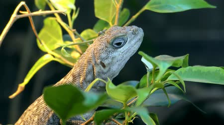 collared : Portrait of Madagascan collared iguana, Oplurus cuvieri sitting on a branch among leaves