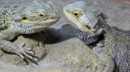 pogona : Two Central bearded dragon, Pogona vitticeps are sitting face to face.