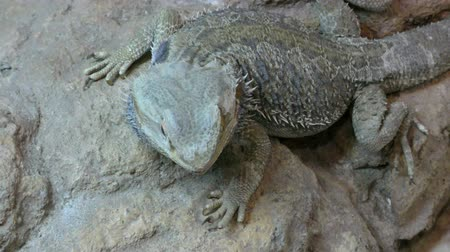 pogona : Central bearded dragon, Pogona vitticeps sit on the stone