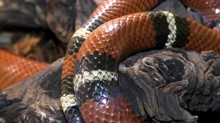 escarlate : Sinaloan milk snake, Lampropeltis triangulum sinaloa crawls along a tree branch