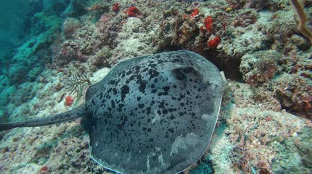round stingray : Round ribbontail ray (Taeniura meyeni) lies on a coral reef, Indian Ocean, Maldives Stock Footage