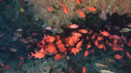 soldierfish : school of fish Pinecone Soldierfish (Pinecone Soldierfish) under a canopy of coral reef, Indian Ocean, Maldives Stock Footage