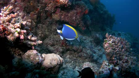 azul : Powder Blue Tang - Acanthurus leucosternon circulates near a coral reef, Indian Ocean, Maldives