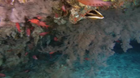 soldierfish : school of fish Pinecone Soldierfish (Myripristis parvidens) under a canopy of coral reef, Indian Ocean, Maldives Stock Footage