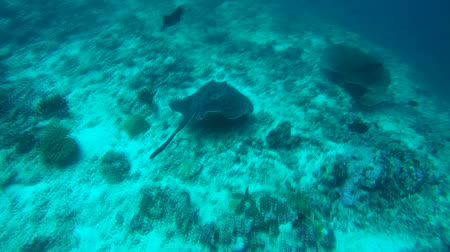 round stingray : Round ribbontail ray (Taeniura meyeni) swims over coral reef, Indian Ocean, Maldives