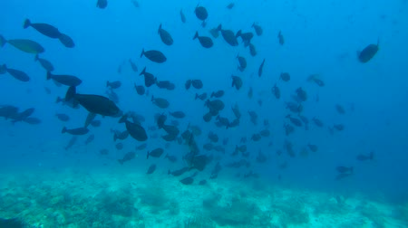černoch : school of fish Yellowfin Surgeonfish (Acanthurus xanthopterus) floats over the coral ryom, Indian Ocean, Maldives