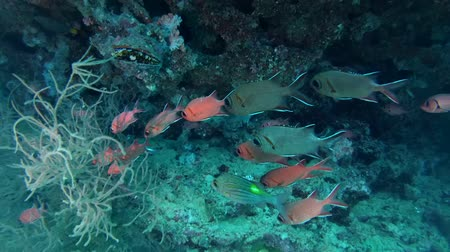 soldierfish : school of fish Pinecone Soldierfish (Pinecone Soldierfish) under a canopy of beautiful coral reef, Indian Ocean, Maldives