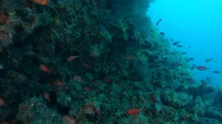 soldierfish : school of fish Pinecone Soldierfish (Myripristis parvidens) swims in the cave, Indian Ocean, Maldives Stock Footage