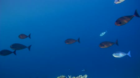 černoch : School of fish Yellowfin Surgeonfish - Acanthurus xanthopterus in blue water, Indian Ocean, Maldives