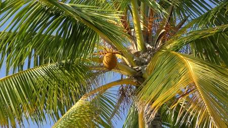 sen : Coconut Palm Trees against Blue Sky, Maldives