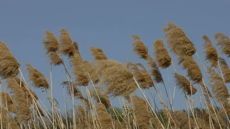 společenská místnost : Reeds swaying in the wind on the blue sky background