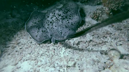 round stingray : Round ribbontail ray - Taeniura meyeni swims over coral reef in the night, Indian Ocean, Maldives