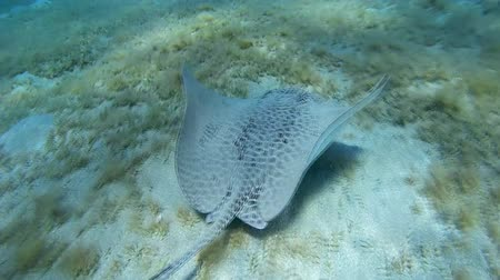reticulate : Longtail Stingray swim over the sandy bottom - Abu Dabab, Marsa Alam, Red Sea, Egypt, Africa