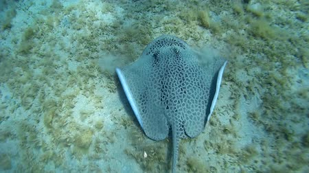 reticulate : Longtail Stingray hunt on the sandy bottom - Abu Dabab, Marsa Alam, Red Sea, Egypt, Africa Stock Footage