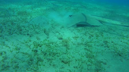 trumpetfish : Longtail Stingray and school of fish Chinese trumpetfish swim over the sandy bottom - Abu Dabab, Marsa Alam, Red Sea, Egypt, Africa Stock Footage
