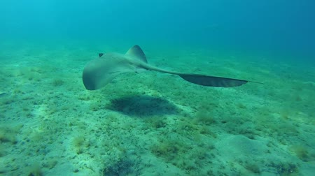 sand lia : Cowtail stingray swim over sandy bottom - Abu Dabab, Marsa Alam, Red Sea, Egypt, Africa