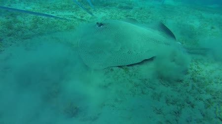 reticulate : Longtail Stingray and school of fish Chinese trumpetfish swim over the sandy bottom - Abu Dabab, Marsa Alam, Red Sea, Egypt, Africa Stock Footage