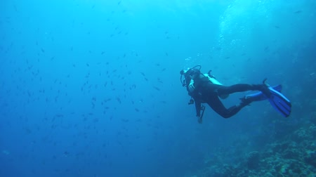 bluefish : RED SEA, ABU DABAB, MARSA ALAM, EGYPT, AFRICA - JULE 2017: Scuba diver swim in the school of Blue fusilier in blue water - Caesio lunaris