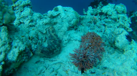 smoczek : pineapple sea cucumber and Pearsonothuria graeffei on the coral reef - Indian Ocean, Maldives Wideo
