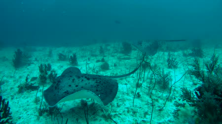 round stingray : Marriage games for Round ribbontail ray - Taeniura meyeni, Indian Ocean, Maldives Stock Footage