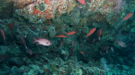 soldierfish : Pinecone Soldierfish - Myripristis murdjan swims in cave, Indian Ocean, Maldives
