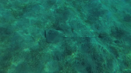 reticulate : Longtail Stingray (Himantura uarnak) swims over a sandy bottom, Red sea, Marsa Alam, Abu Dabab, Egypt Stock Footage