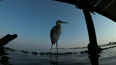 gularis : Arabian Reef-egret or Western Reef Heron (Egretta gularis schistacea) sits on a pier-underwater split level, Red sea, Marsa Alam, Abu Dabab, Egypt Stock Footage