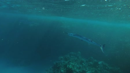 szczupak : Needlefish floats under the surface of water, Red sea, Marsa Alam, Abu Dabab, Egypt Wideo