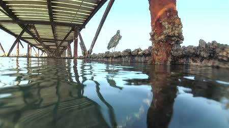 small heron : Striated Heron (Butorides striata) sits on a pier - underwater split level, Red sea, Marsa Alam, Abu Dabab, Egypt Stock Footage