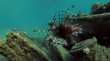 scorpionfish : Red lionfish (Pterois volitans) near wreck, wooden fishing, lies in shallow water, on a sandy bottom in the port, Red sea, Egypt