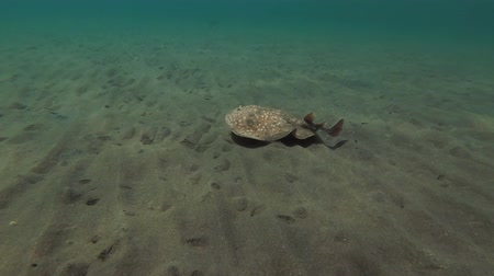 torpedo : Panther Electric Ray (Torpedo panthera) swims over the sandy bottom, Red sea, Marsa Alam, Abu Dabab, Egypt