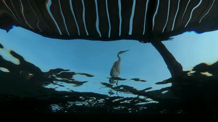 gularis : Arabian Reef-egret or Western Reef Heron (Egretta gularis schistacea) stands on the pier and hunts on school of Hardyhead Silverside (Atherinomorus lacunosus) - underwater split level, Red sea, Marsa Alam, Abu Dabab, Egypt Stock Footage