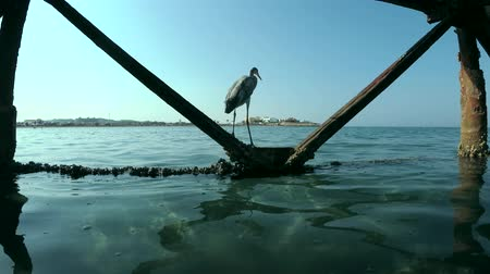 gularis : Arabian Reef-egret or Western Reef Heron (Egretta gularis schistacea) stands under pier, Red sea, Marsa Alam, Abu Dabab, Egypt Stock Footage