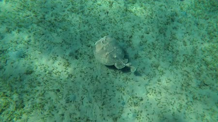 torpedo : Panther Electric Ray (Torpedo panthera) floats over the sandy bottom with overgrown sea grass, Red sea, Marsa Alam, Abu Dabab, Egypt Stock Footage