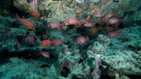 soldierfish : school of Pinecone Soldierfish - Myripristis murdjan swim in the cave, Indian Ocean, Maldives Stock Footage