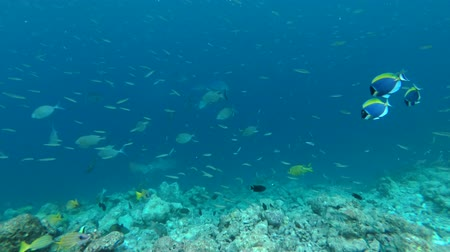 sprat : school of tropical fish in the blue water over coral reef - Indian Ocean, Maldives