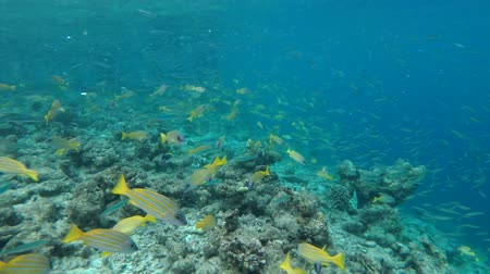 sprat : A large school of Whitebait or Blue Sprat - Spratelloides delicatulus in the blue water over coral reef, Indian Ocean, Maldives Stock Footage