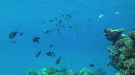 deceleration : school of Indo-Pacific sergeant (Abudefduf vaigiensis) swis in the blue water next to coral reef, Red sea, Marsa Alam, Abu Dabab, Egypt Stock Footage
